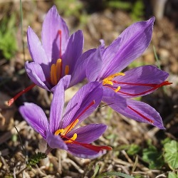 Crocus Sativus (Fall-Flowering)