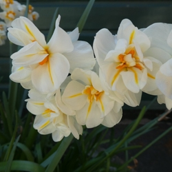 Sir Winston Churchill Daffodil