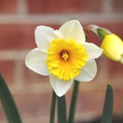 Slim Whitman Daffodil