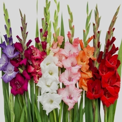 Gladiolus by the Bushel