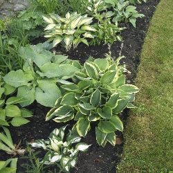 Mixed Hosta By the Bushel