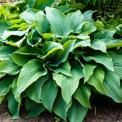 Royal Standard Hosta