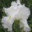 White Bearded Iris