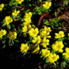 Eranthis Cilicia (Winter Aconite)