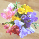 Freesias (Spring)