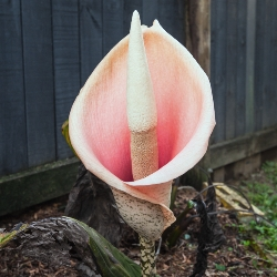Amorphophallus Bulbifer