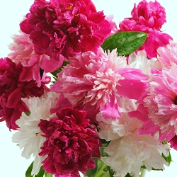 Peonies by the Bushel