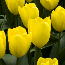 Yellow Emperor Tulip