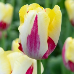 World Expression Tulip